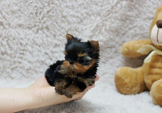 Best-teacup Yorkshire Terrier Puppies for loving homes