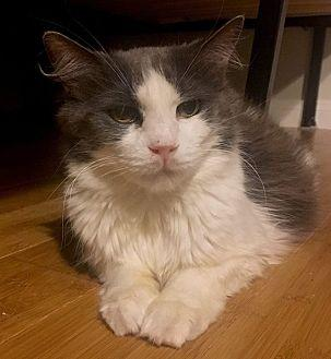 Betty (Bonded To Denise) Domestic Longhair Senior