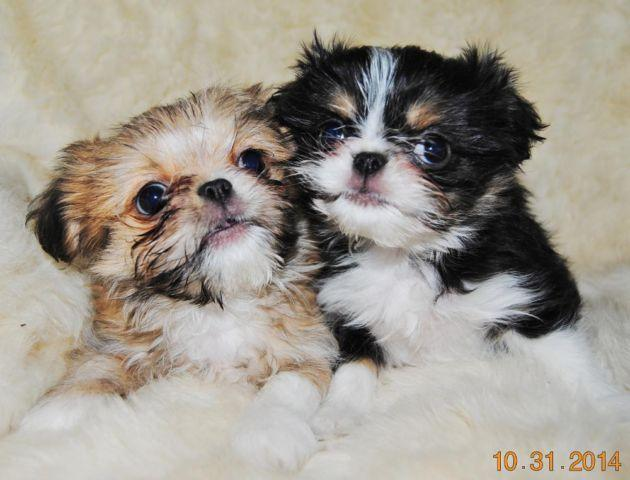 japanese chin shih tzu quot bewitching sisters quot japanese chin shih tzu mix for sale 831