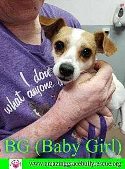 BG (Baby Girl) Chihuahua Adult Female for Sale in Pensacola