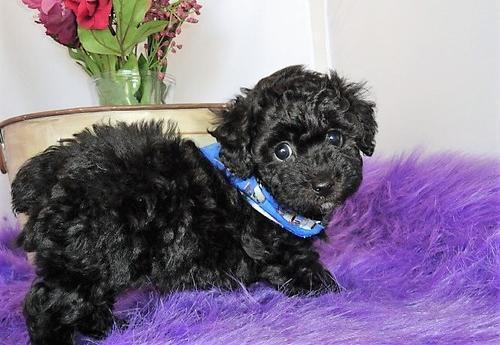 Bich Poo Puppy for Sale - Adoption, Rescue