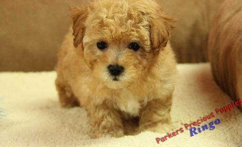 Bich Poo Puppy For Sale Adoption Rescue For Sale In Hickory