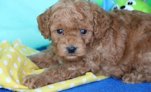 Bich Poo Puppy For Sale Adoption Rescue For Sale In Millersburg