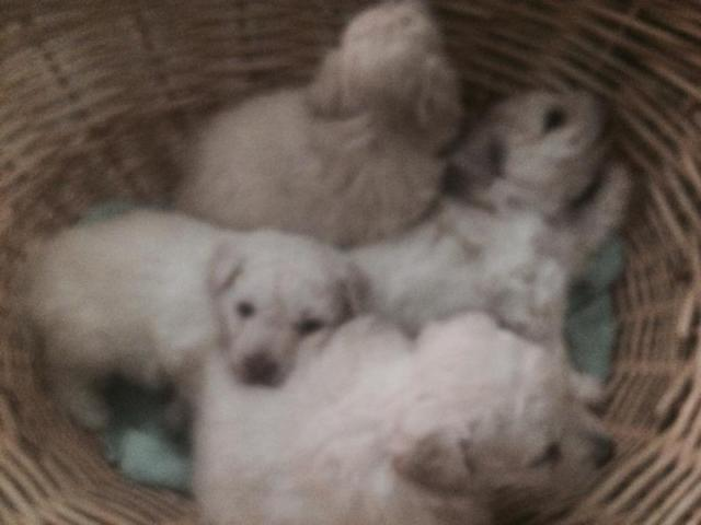 Bichon Frise Babies For Sale In Conroe Texas Classified