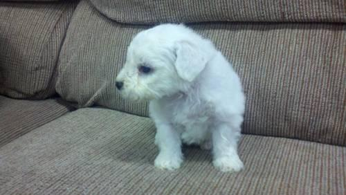 Bichon Frise Female puppy 7 months old for sale for Sale ...
