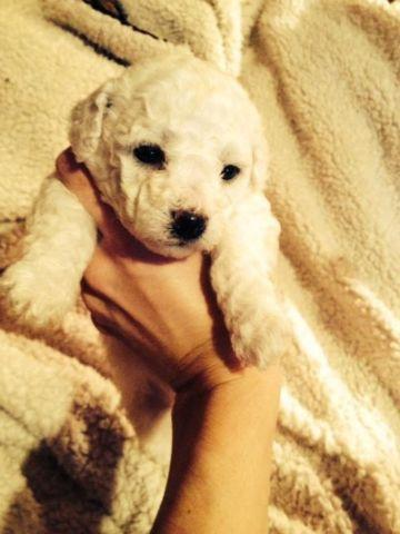 Bichon Frise GIRL, AKC Champion Bloodline Puppy