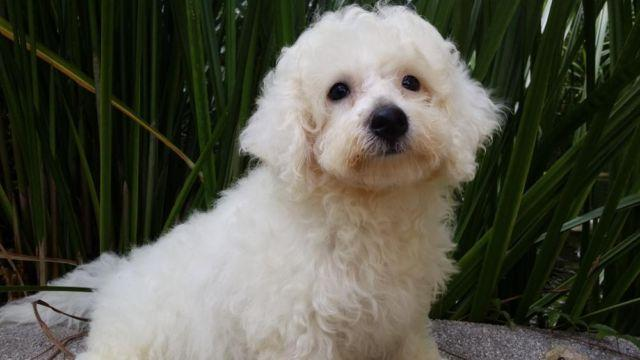 Bichon Frise male puppies ready now