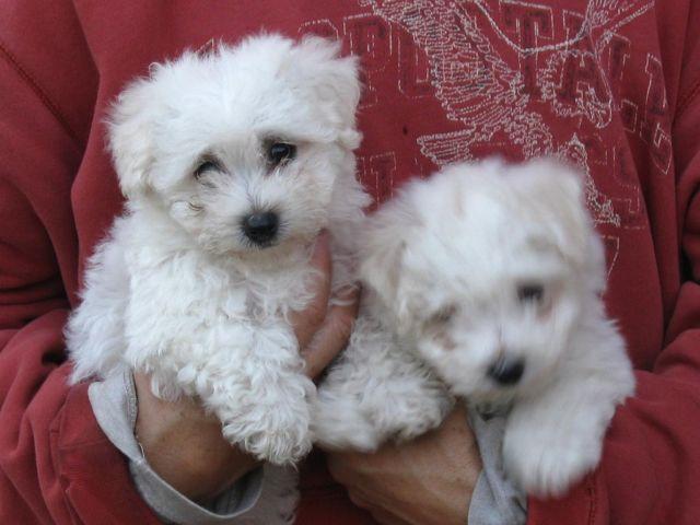 Bichon Frise/Maltese Pups (Maltichon) Super Tiny and Adorable!!