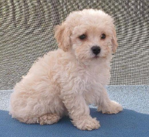 Poochon Puppies For Sale In Florida Classifieds Buy And Sell In
