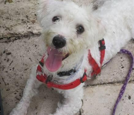 Bichon frise prince small young male dog for - Frise petit prince ...