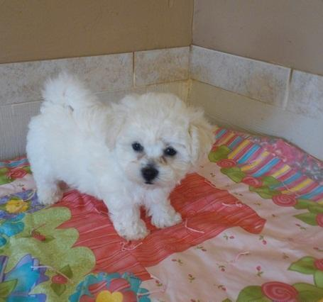 Bichon Frise Puppies For Sale In Phoenix Arizona Classified