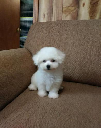 Bichon Frise Puppy for Sale - Adoption, Rescue for Sale in