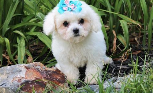 Bichon Frise Puppy for Sale - Adoption, Rescue