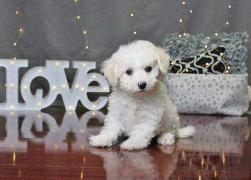 Bichon Frise Puppy For Sale For Sale In Columbus Ohio