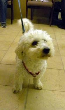 Bichon Frise - Tiger - Small - Adult - Male - Dog