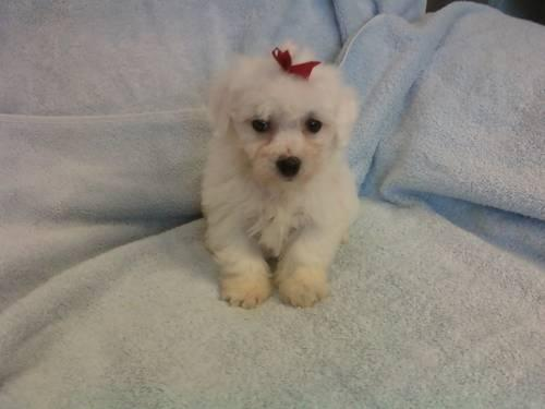 Bichon Frise Willow Small Adult Female Dog For