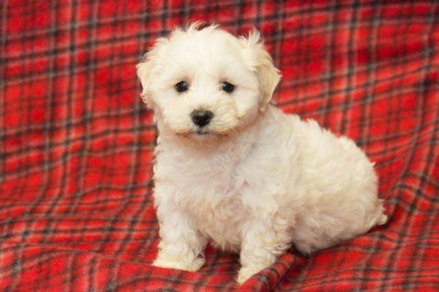 Bichonhavanese Puppies For Sale In Scurry Texas Classified