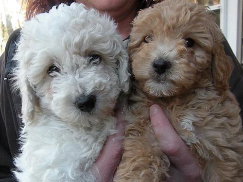 Bichon Poo Puppies For Sale In Warrenton Virginia Classified
