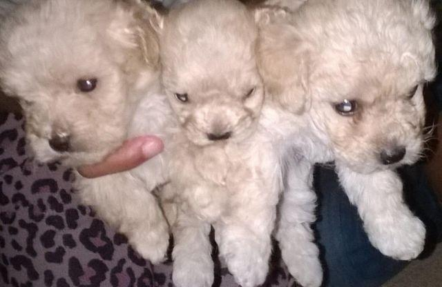 Bichon Poodle Mix Puppies For Sale In Melbourne Florida