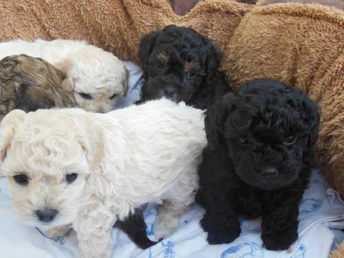 Bichon Toy Poodle Mix Puppies For Sale In Sacramento