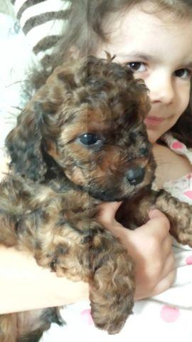 Bichon Frise Mix Pets And Animals For Sale In Sacramento