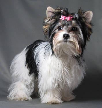 Biewer Yorkshire Terrier Puppy for Sale in Valley Center ...