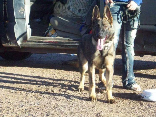 BIG AKC Sable Male German Shepherd Puppy! Champion Schutzhund Lines!