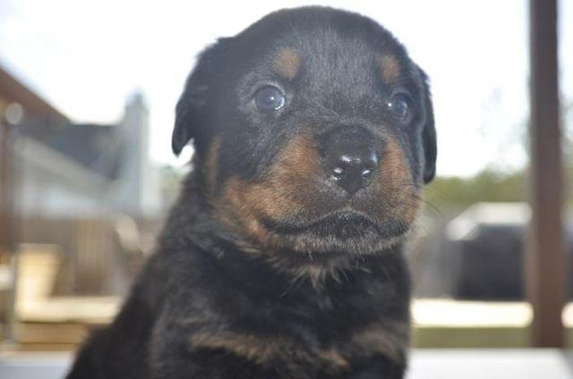 Big Beautiful Purebred AKC Rottweiler puppy. Strong