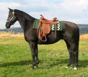 Big, Black AQHA Gelding, WELL broke - $1800 (Spokane)