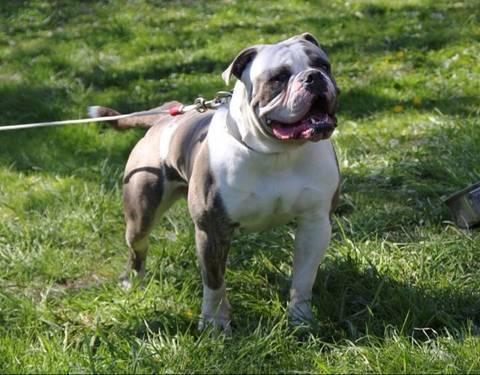 ... Big block \x3cb\x3ebully american bulldog pups\x3c/b\x3e for sale in