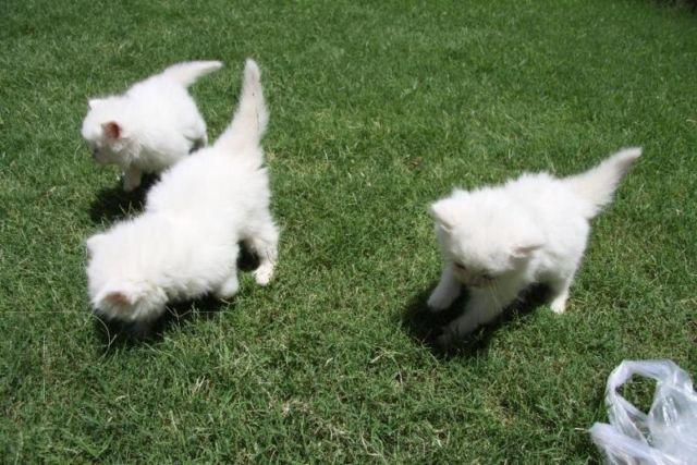 Big fluffy Persian kittens for Sale in Seattle, Washington Classified ...