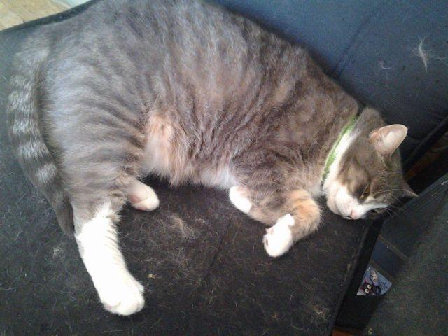 Big Grey Tiger Cat Brutus For Sale In Harrisburg Pennsylvania