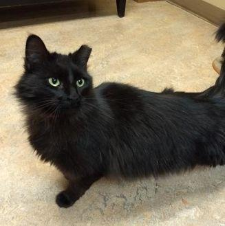 Billie Jean Domestic Mediumhair Adult Female