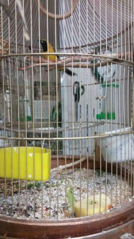 Birds & cages for sale