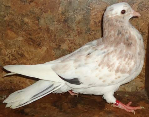 Birmingham rollers pigeons for sale in uk zithromax