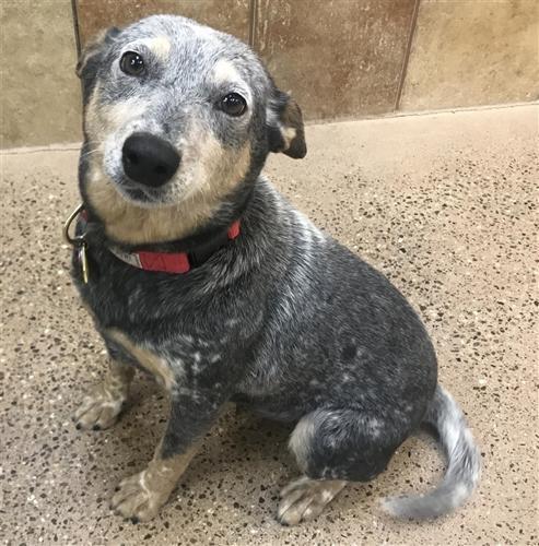 Bizzy B Australian Cattle Dog / Blue Heeler Adult - Adoption, Rescue