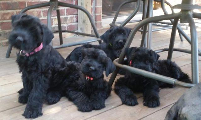 Black AKC Giant Schnauzer Puppies - Only 4 left