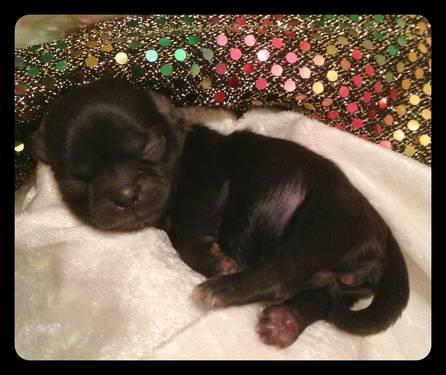 Black - AKC Registerable - Female - Shih Tzu