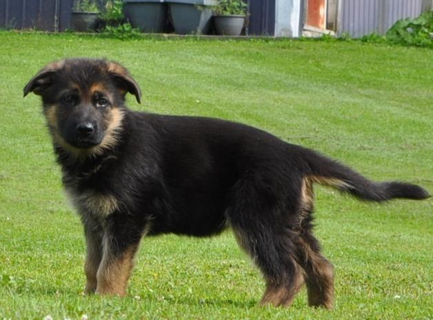 !!!!!!!!!!!!Black and Red German shepherd