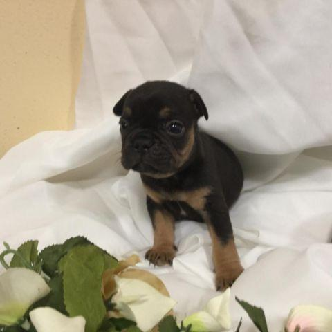 Black And Tan Blue Carrier Frenchbulldog Puppy For Sale In