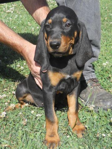 Black and Tan CoonHound Puppies out of Grand Nite Champion ... American Black And Tan Coonhound Puppies
