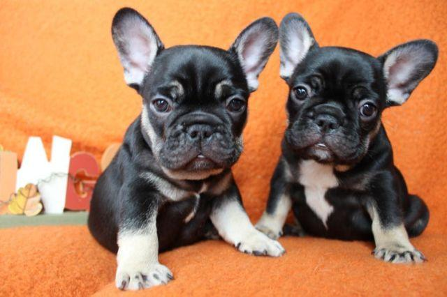 Black And Tan French Bulldog Puppies 8 Weeks Old For Sale