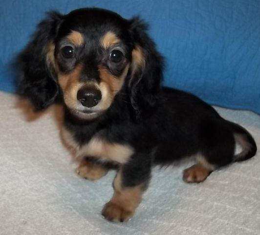Black And Tan Long Coat Female Dachshund For Sale In