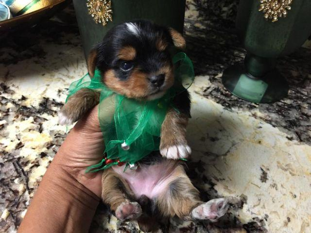 Black and Tan Yorkie female/AKC