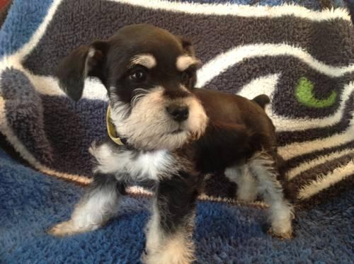 Black and white AKC Mini Schnauzer -8 weeks old for Sale ...