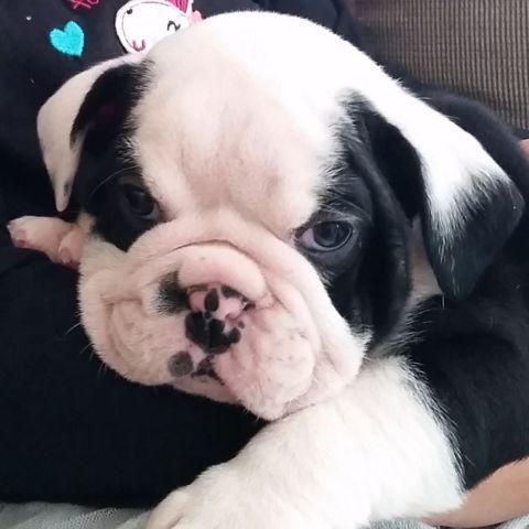 Black and white english bulldogs for sale in georgia