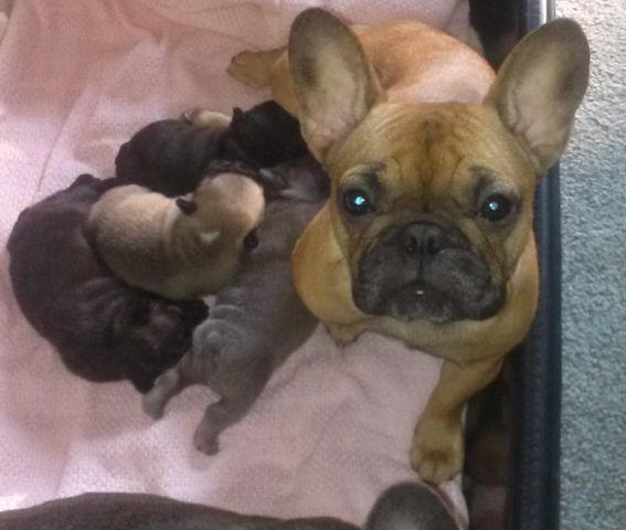 Black Brindle Baby French Bulldog 4 Weeks Old Selecting New