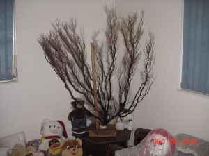 Black Coral Tree - $800 (Chassahowitzka)