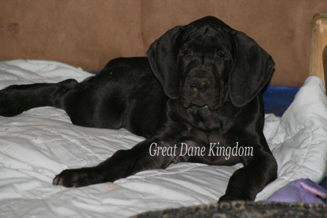 Black Euro Great Dane