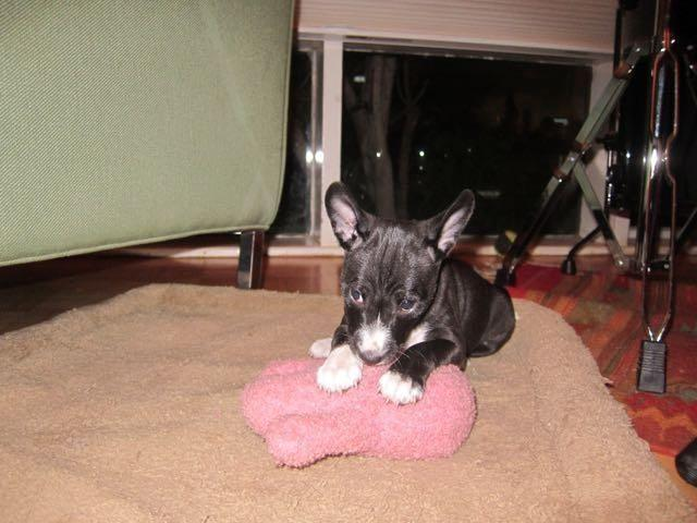 Basenji For Sale In California Classifieds Buy And Sell In